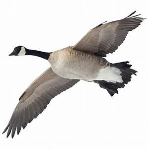 Picture Of Canada Goose Flying Canada Goose Mens Replica Shop