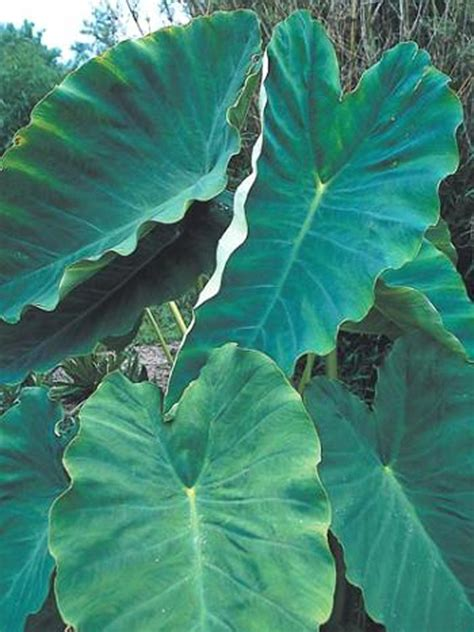 elephant ear plants for sale 29 best images about coleus caladium colocasia on pinterest gardens sun and elephant ears