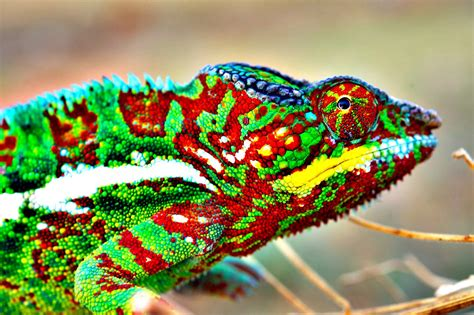 color change how and why do chameleons change color veritasium