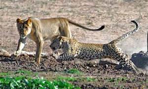 Africa Leopard v Asiatic Lioness