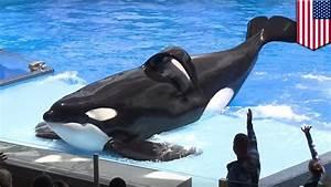 Hidup Tilikum Sang Paus Orca Yang Menyedihkan Di Seaworld