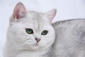 White British Shorthair photo and wallpaper. Beautiful ...