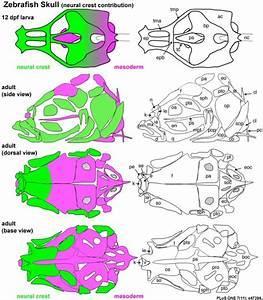 Zebrafish Development