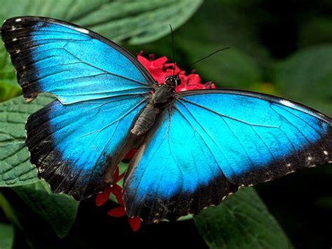 blue butterflies wallpaper hd wallpaperscom