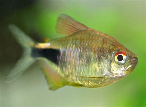 hemigrammus pulcher pretty tetra  fish