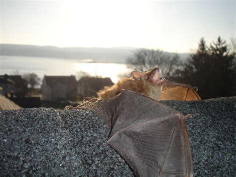 boston bat removal batguys