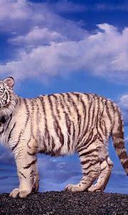 white tiger - Animal Stock Photos - Kimballstock