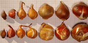 Planter Des Bulbes : planter un bulbe de tulipe l 39 atelier des fleurs ~ Dallasstarsshop.com Idées de Décoration