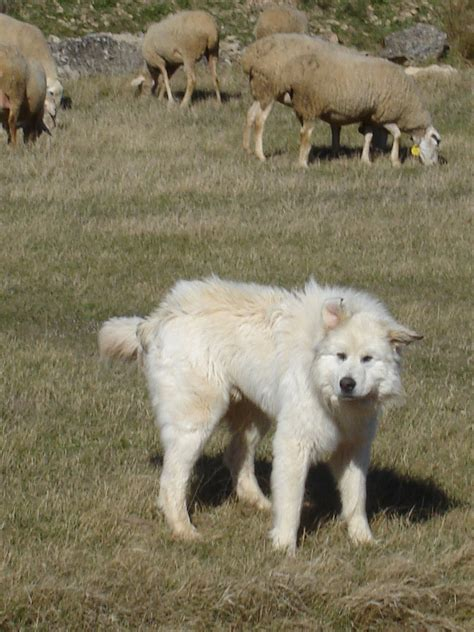 Great Pyrenees Wiktionary