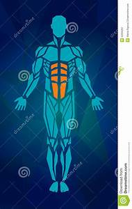 Polygonal Anatomy Of Male Muscular System Stock Vector