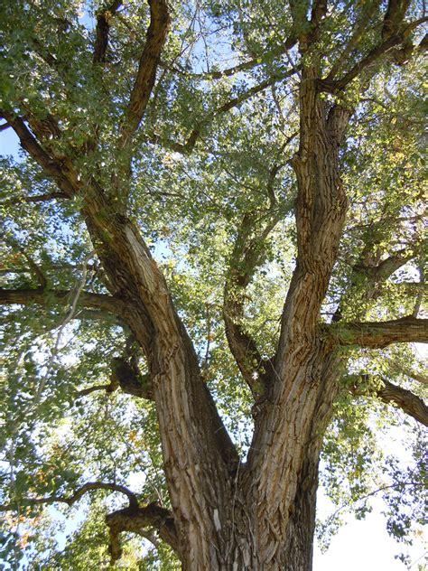 File:Populus deltoides (5027341520).jpg - Wikimedia Commons