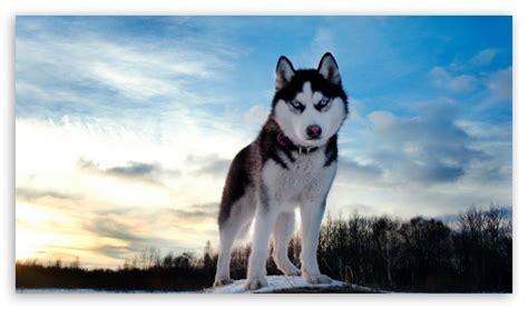 1080p Wolf Wallpaper Hd For Mobile by Wolf 4k Hd Desktop Wallpaper For 4k Ultra Hd Tv