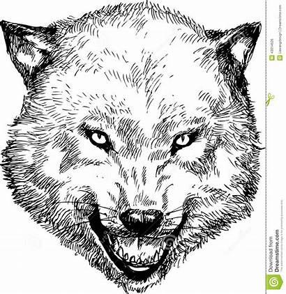 Wolf Gezeichnet Head Drawn Disegnato Mano Testa