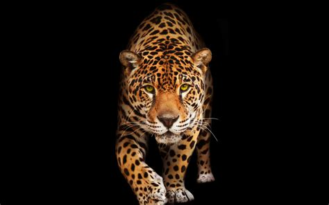 Jaguar Backgrounds by Wallpaper Jaguar Hd Animals 10474