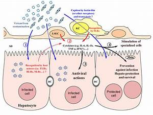Viruses | Free Full-Text | Innate Antiviral Immune ...