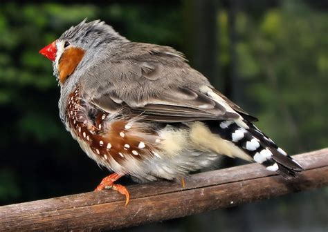 types of zebra finches