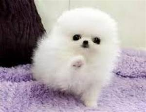 4 Cute pomeranian puppies for sale/adoption. Text ...