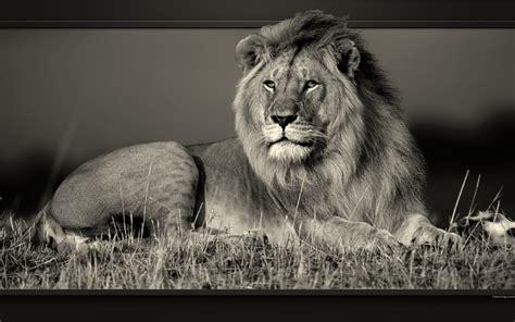 Fond Ecran Bureau Rangement by Photo D Un Lion Couch 233 En Noir Et Blanc Fonds D 233 Cran En