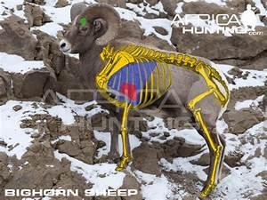 Ram U0026 39 S Horn  Ram Anatomy