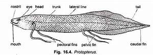 Lung Fish And Its Types  With Diagram