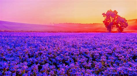 wallpaper lavender farm purple blossom sunset