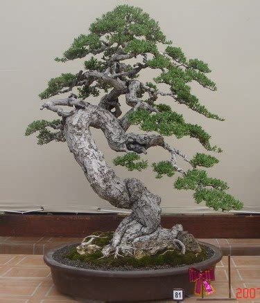 karimunjawa bonsai bonsai expo