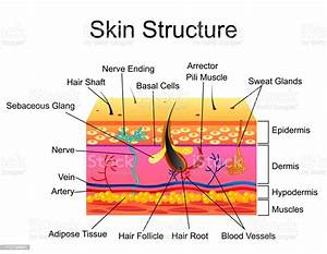 Human Skin Structure Vector Illustration Isolated Background Stock Illustration