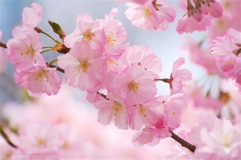 cherry blossoms wallpaper hd wallpapers  pc mac