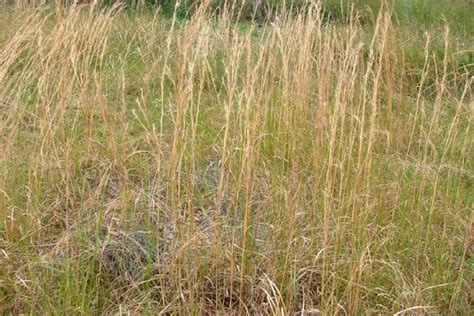 whisky grass weed identification brisbane city council