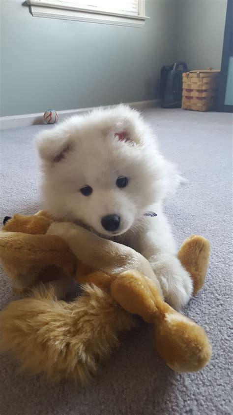 25 Bästa Samoyed Puppies Idéerna På Pinterest