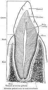 Structure Of Canine Tooth