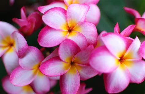 Plumeria Hd Wallpapers HD Wallpapers Download Free Images Wallpaper [1000image.com]
