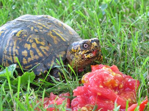Blue Jay Barrens Yard Turtles
