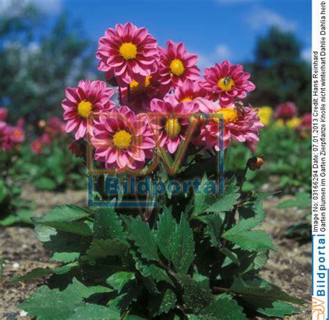 Blumen Für Balkon Winterhart by Herbstblumen Garten Winterhart Garten Blumen Winterhart