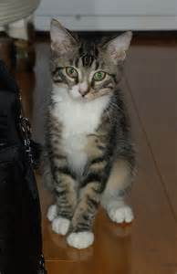 cat mix mixed breed tabby cat picture 7263 pet gallery