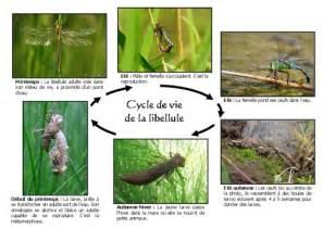 Cycle De Vie De La Libellule by Schema De Reproduction De La Libellule Pdf Notice Manuel