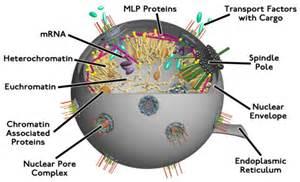 Cell Nucleus Diagram