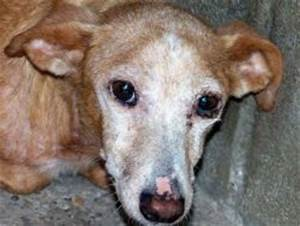 Living with Leishmania - a podenco's story - Podenco Post