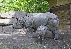 Javan Rhinoceros Archives - Animal Facts for Kids | Wild Facts