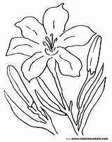 Lily Coloring Pages Tiger Flower Easter Stargazer Drawing Amazing Printable Lilies Sheet Lovely Getcolorings Awesome Calla Getdrawings Printout Activity sketch template