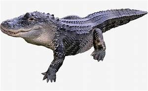 Alligator Cuerpo Animal Diagrama Cocodrilo Material De La