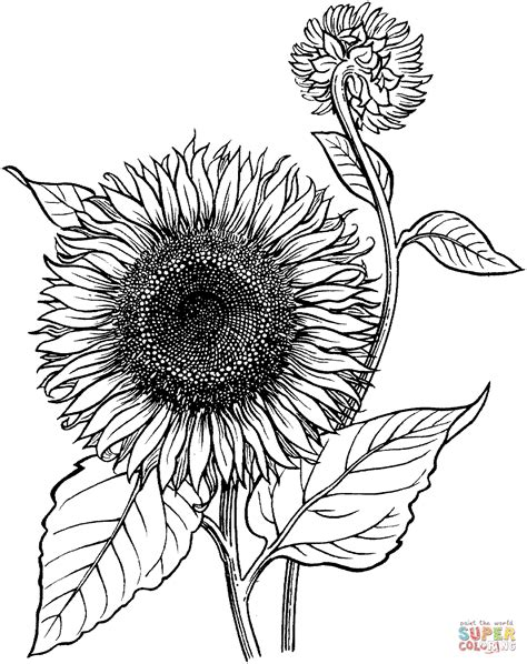 Blooming Sunflower Coloring Page Free Printable Coloring