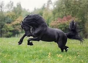 1000 Ideas About Black Horses On Pinterest Friesian