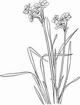Narcissus Coloring Flower Flowers Daffodil Paperwhite Tattoo Drawing Tazetta Printable Spring Daffodils Line Colouring Supercoloring Paper Watercolor Paperwhites Plants Birth sketch template