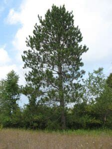 norway pine red pine tree facts identification habitat