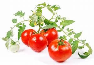 Quand Semer Les Tomates : reflexions quand la tomate fleurit ~ Melissatoandfro.com Idées de Décoration