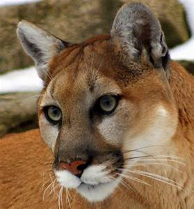 Bi-State Wildlife Hotline Inc. - Mountain Lion Bi-State ...