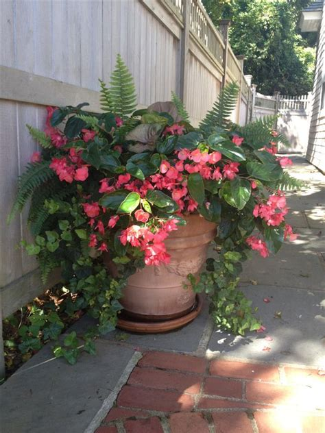 pictures of begonias in pots dragon wing begonias with shade loving companions by second nature designs plants flowers