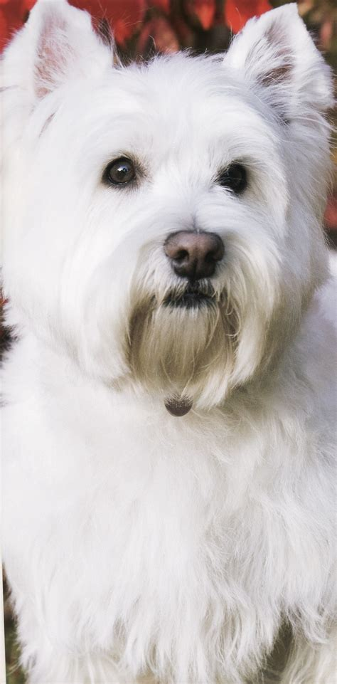 Small Calm Non Shedding Breeds by 1000 Ideas About White Terrier On Westie