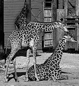 YOUNG GIRAFFES black and white by CorazondeDios on DeviantArt
